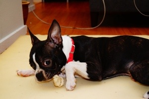 Abel chewing on his bone